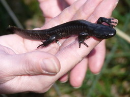 Save Salamanders from Deadly Fungus | GarryRogers NatCon News | Scoop.it