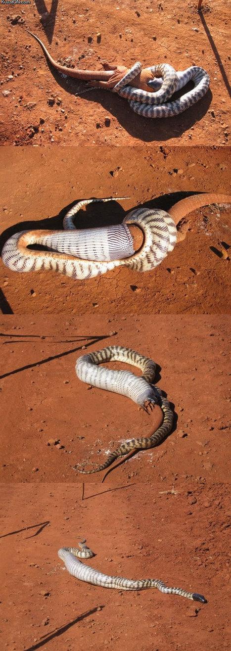 #Snake vs Lizard. #wildlife | Xposed | Scoop.it