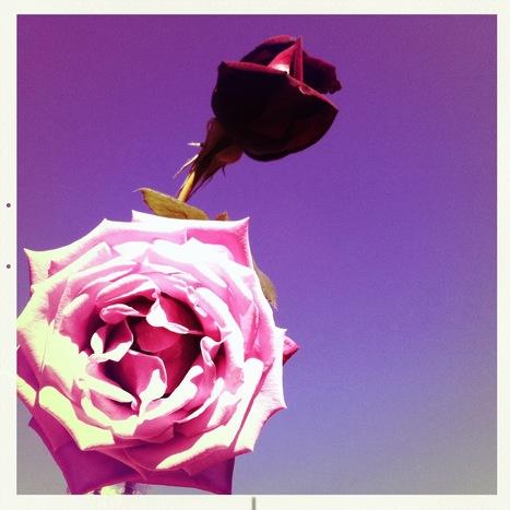 Roses | Hipsta | Scoop.it