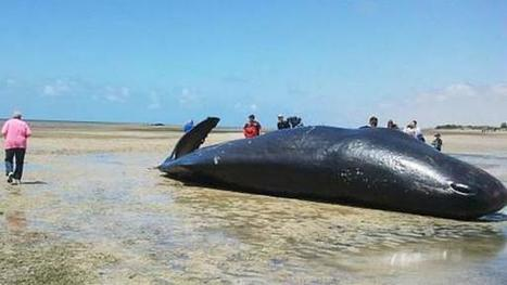 Teeth stolen from sperm whales beached in South Australia - 9news.com.au | World whale rescue | Scoop.it