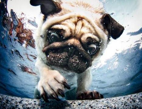 Twitter / UnderWaterPix: Pug Puppy Diving Underwater ... | Tank's ocean grotto | Scoop.it