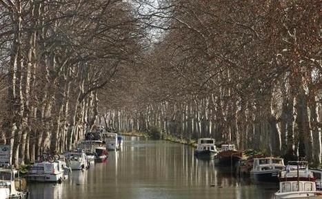 Les amoureux des platanes plaident pour ne pas les abattre | Histoire Canal du Midi | Scoop.it