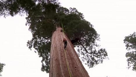 Cloning giant sequoias to battle climate change | treetools | Scoop.it