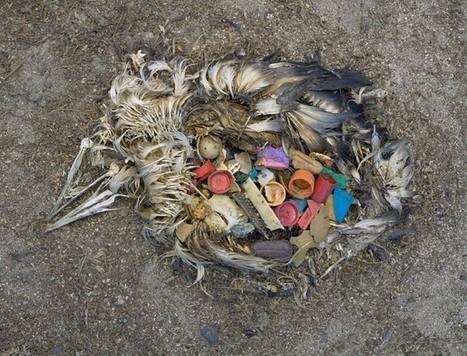 Vogels verzamelen plastic afval en denken dat het voedsel is | De Kraanwater Universiteit | Alles over drinkwater | Plastic Soep | Scoop.it