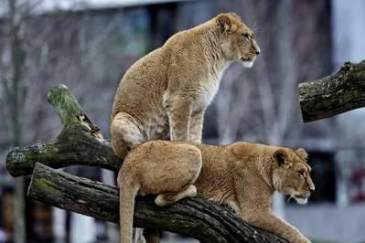 Zoo-direktør: »Alle kan forstå, at vi ikke kan sende dem til et rumænsk cirkus«   Marius   Scoop.it