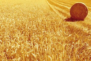 Un blé éthique en Vendée | La Toque Magazine | Actu Boulangerie Patisserie Restauration Traiteur | Scoop.it