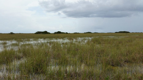 Rising Seas Push Too Much Salt Into The Florida Everglades | Farming, Forests, Water, Fishing and Environment | Scoop.it