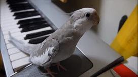 Calopsita assobiando com acompanhamento de piano é o vídeo mais fofo do momento ~ Várias Webs - o que a Web tem de melhor - Informação e diversão! | www.variaswebs.com | Scoop.it