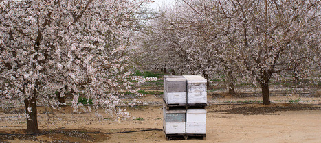 Almond Farmers Turning into Beekeepers - Modern Farmer | Sustain Our Earth | Scoop.it