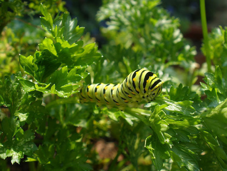Swallowtail butterfly caterpillars | Gardening Life | Scoop.it