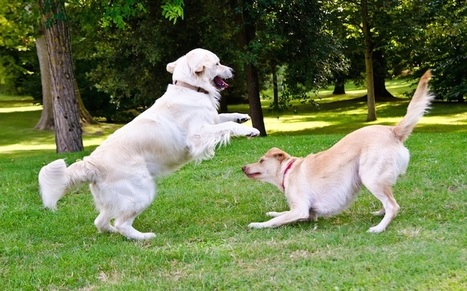 Dogs Mimic Their Pals' Playful Behaviors: emotional contagion, a basic form of empathy | Empathy and Animals | Scoop.it