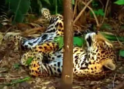 Catnipped: Watch a jaguar tripping balls after eating ayahuasca vines   Ayahuasca  アヤワスカ   Scoop.it