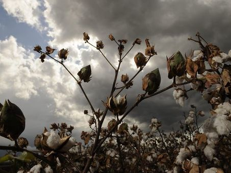 Cotton no longer king | Permaculture, Horticulture, Homesteading & Green Technology | Scoop.it