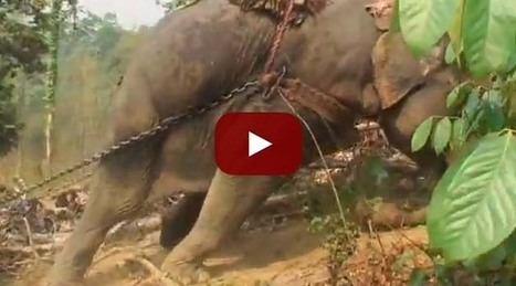 This is why you should not ride elephants in Thailand! | Knowledge | Scoop.it
