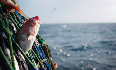DEADLY BYCATCH:  Two-thirds of healthy fish brought on to fishing vessels is thrown back into the sea -  dead. | OUR OCEANS NEED US | Scoop.it