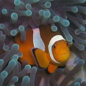 Ocean Acidification Can Mess with a Fish's Mind: Scientific American | The Future of Water & Waste | Scoop.it