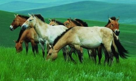 Mongolie : Ecovolontariat et réintroduction des Chevaux de Przewalski - Ecovoyageurs.com | Ecovolontariat | Scoop.it