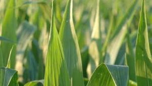 US: First Iowa Confirmation of Resistance to Bt Corn by Western Corn Rootworm | Corn content from Corn and Soybean Digest | MAIZE | Scoop.it