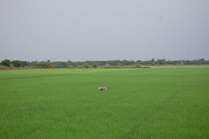 As waters rise, Mekong rice farmers switch to shrimp | Global Aquaculture News & Events | Scoop.it
