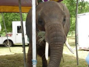 Tell USDA: Act Now to Safeguard Elephant Nosey and the Publi ... | Plant Based Transitions | Scoop.it