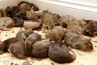 Walsall food business shut over rat droppings | ''SNIPPITS'' | Scoop.it