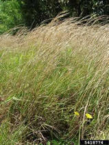 EPPO News: New perennial grass (Andropogon virginicus) found in France | Plant Pests - Global Travellers | Scoop.it