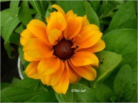 Black Eyed Susan | RedGage | Photos4Share | Scoop.it
