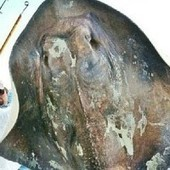 Une espèce rare de raie des profondeurs pêchée au large de la Floride | Rays' world - Le monde des raies | Scoop.it