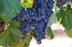 Les défis liés au réchauffement climatique en viticulture | actualité-buduquebec | Scoop.it