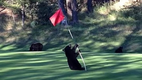 Baby bear's pole dancing on golf course caught on YouTube video | Golf On The Web | Scoop.it
