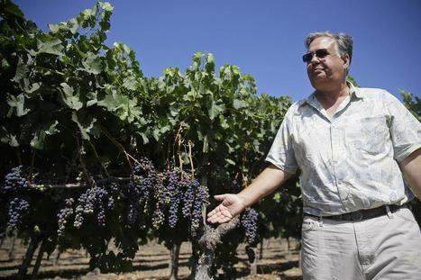 With drought, grape farmers revisiting old question: Dry farming, or irrigation? - OCRegister | Global Milling | Scoop.it