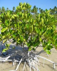 Experts Reveal: Mangroves are More Than Coastal Forests | Hydroponic Business | Scoop.it