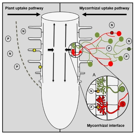Role of Arbuscular Mycorrhizal Fungi in the Nitrogen Uptake of Plants: Current Knowledge and Research Gaps | Plant Pathology | Scoop.it