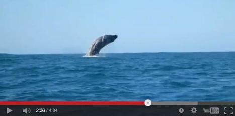 #Vidéo : Une #baleine à bosse vue dans le bassin d' #Arcachon | Hurtigruten Arctique Antarctique | Scoop.it