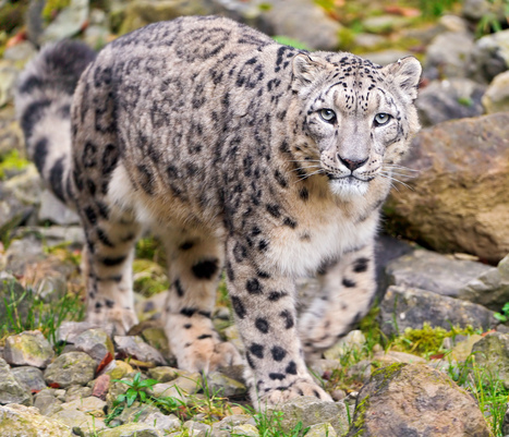 Citizen Scientists Saving Snow Leopards   Farming, Forests, Water, Fishing and Environment   Scoop.it