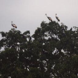Les Grues royales fréquentent de plus en plus les zones urbaines en Ouganda | Ornithomedia.com | Confidences Canopéennes | Scoop.it