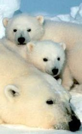 Fun Polar Bear Facts for Kids - Interesting Information about Polar Bears | Polar animals | Scoop.it