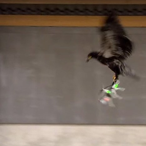 Police train eagles to take down drones on sight (Wired UK)   Science & Innovation   Scoop.it