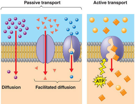 MCAT Passive and Active Transport | Premed HQ | Membrane Transport | Scoop.it