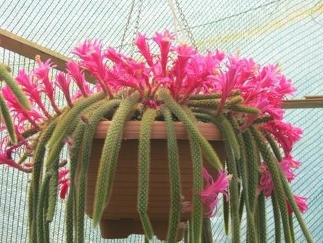 Disocactus flagelliformis – Rat Tail Cactus   World of Succulents   Cacti (Cactus)   Scoop.it