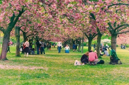 Brooklyn Botanic Garden's Cherry Blossom Festival | The Modern Traveller | Scoop.it