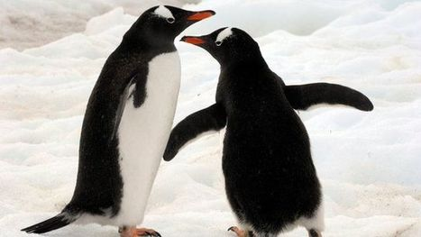 How do you move Gentoo penguins across Europe? - CBBC Newsround   au jardin   Scoop.it