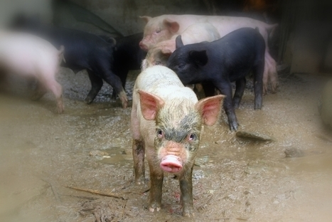 Pigs and pollution: China can't keep ignoring the environment | The Glory of the Garden | Scoop.it