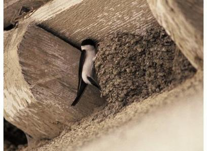Ne détruisez pas les nids d'hirondelles et de martinets ! - MaCommune.info   Nord Franche-Comté écologie   Scoop.it