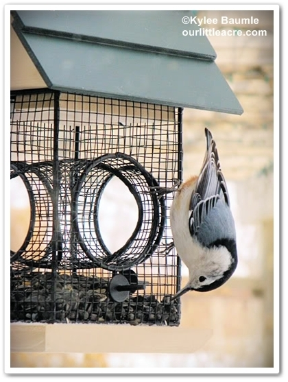 A Tale of Two Nuthatches   Annie Haven   Haven Brand   Scoop.it