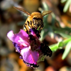 "GENETICALLY MODIFIED ORGANISMS (GMO's) ARE KILLING OUR BEES – The Death Of Bees ""When the bees go, so goes Man"" – Albert Einstein 