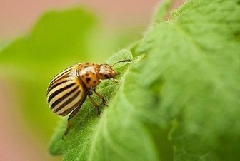 Microbes help beetles defeat plant defenses - Penn State News | Plant protection | Scoop.it