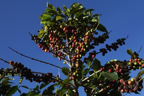 Gulp: Climate Change May Be Causing a Global Coffee Shortage | Sustain Our Earth | Scoop.it