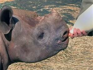 VIDEO: South Africa's Rhino Orphanage | What's Happening to Africa's Rhino? | Scoop.it