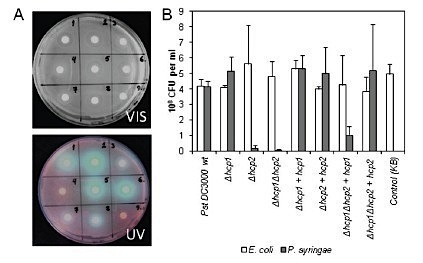 J Bacteriology: Hcp2, a secreted protein of the phytopathogen Pseudomonas syringae pv. tomato DC3000, is required for competitive fitness against bacteria and yeasts (2012) | Plants and Microbes | Scoop.it
